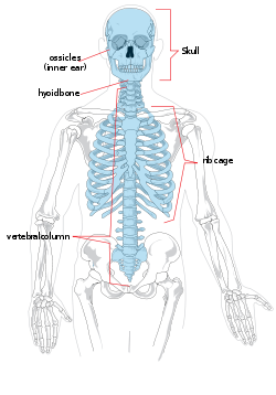 axial and appendicular skeletons the skeletal system