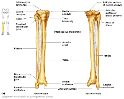 Image result for tibia