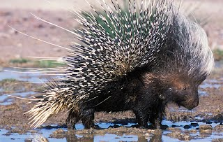 http://oakdome.com/k5/lesson-plans/powerpoint/animal-adaptations-porcupine.php