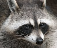 http://oakdome.com/k5/lesson-plans/powerpoint/animal-adaptations-raccoon.php