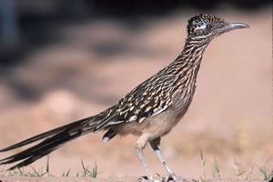 http://oakdome.com/k5/lesson-plans/powerpoint/animal-adaptations-roadrunner.php