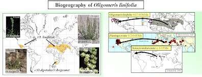 Biogeography of Oligomeris linifolia