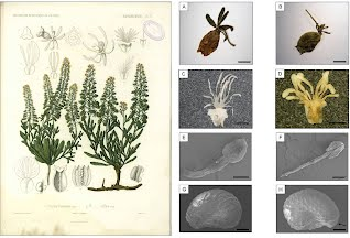 Reseda collina plate and diagnostic morphological character of R. collina and R. phyteuma