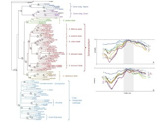 Combined Nuclear ITS-Plastid trnL-F-rps16 phylogeny of Schoenoxiphium and recombination analyses