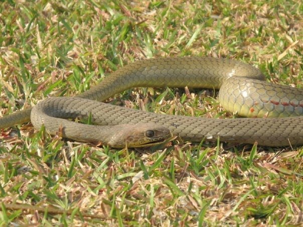 Olive Whip Snake - Snakes of South Africa