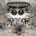 Close-up of the face of the jumping spider Eris militaris