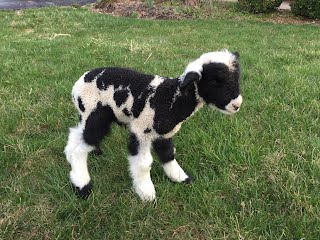 Miniature Harlequin Lambs For Sale - Spotty Dotty Acres