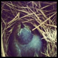 *Brooding bluebird