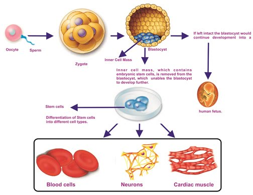Adult stem cell definition