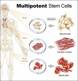 Adult stem cell article
