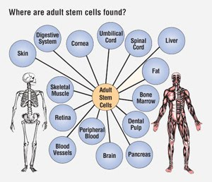 domination-laval-what-is-adult-stem-cell-research-the-last