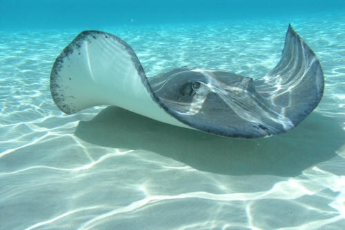 All about stingrays for Is a stingray a fish