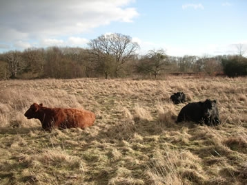 Dexter cattle grazing at St Wulstan's