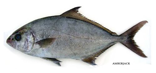 Allied kingfish/Amberjack, Punnara meen- Click image for a bigger view