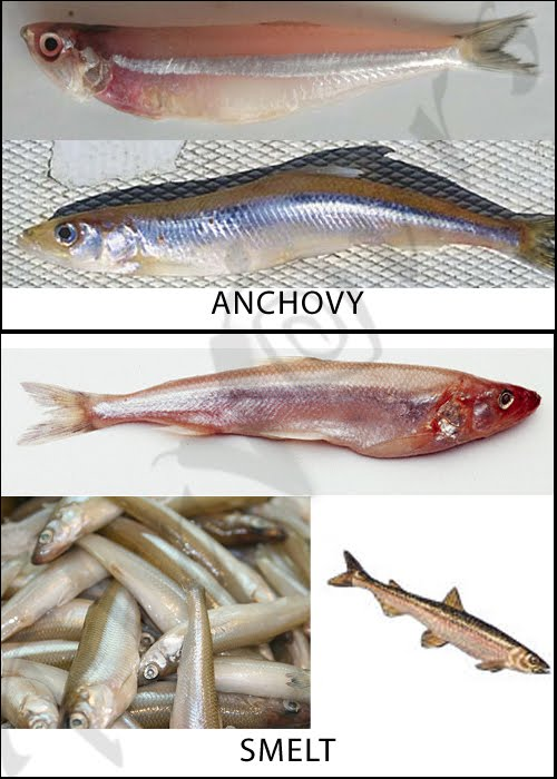 Anchovy, Smelt
