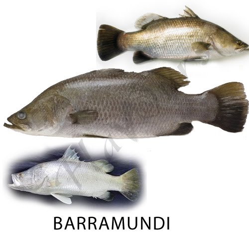 Barramundi (Bekti, Seabass, Gaint sea perch, cock-up)