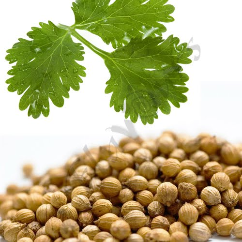 Coriander (Dhania) leaves