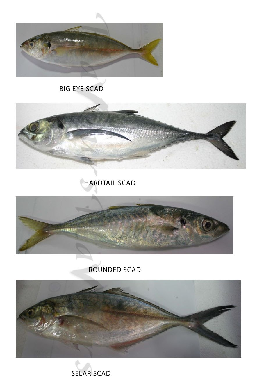 Different types Scad - Indian Scad