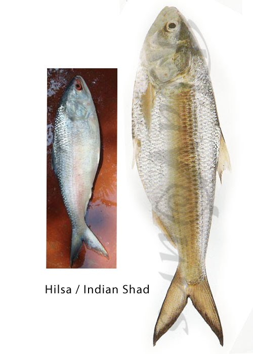 Hilsa or Indian Shad