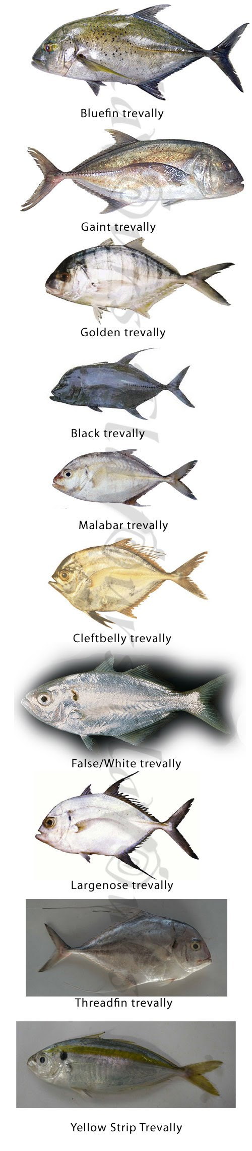 Trevally  - Click for a biJesh Salgger view