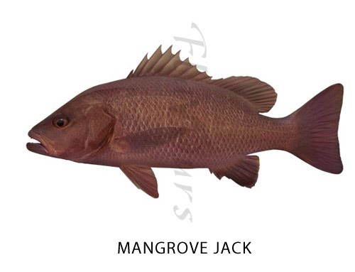 Mangrove Jack  - Click for a bigger view