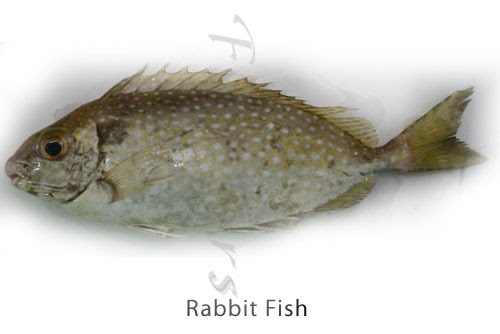 Rabbit Fish - Click for a bigger view