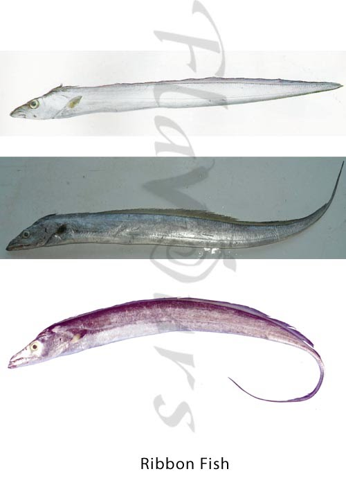Ribbon Fish, Belt fish - Click for a bigger view
