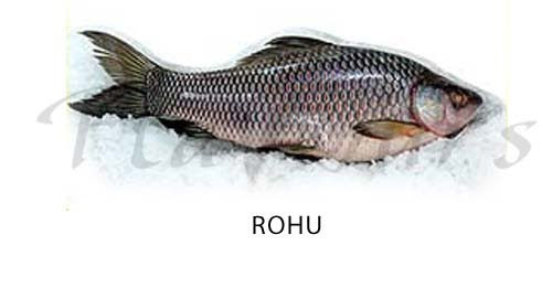 Rohu, Rohita Carp - Click for a bigger view