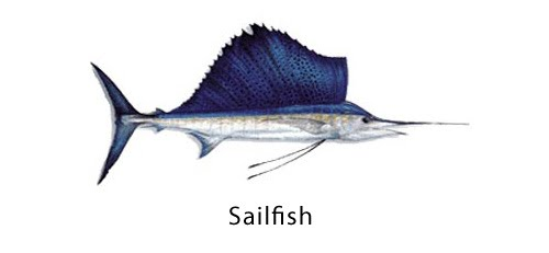 Indian sailfish - Click for a bigger view