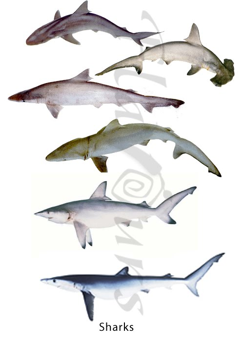 Sharks - Blue fin shark, hammer head shark , Dog Shark - Click for a bigger view