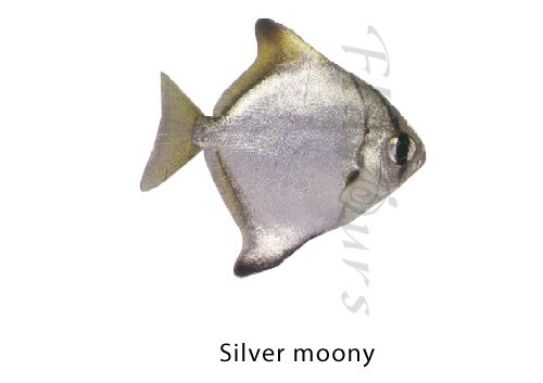 Silver moony - Click for a bigger view
