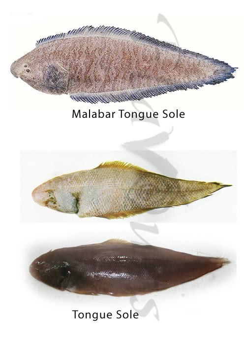 Malabar Sole, Tongue Sole - Click for a bigger view
