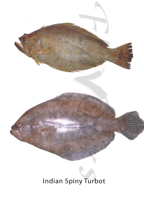 Indian Turbot - Click for a bigger view
