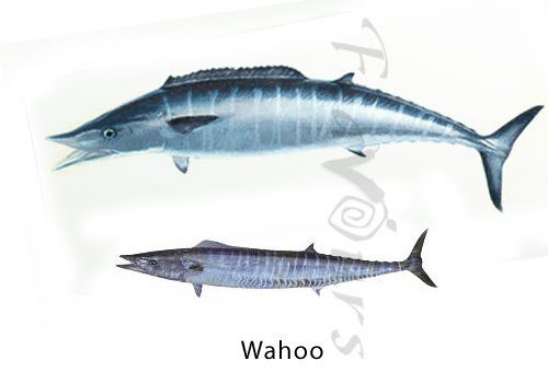 Wahoo - Click for a bigger view