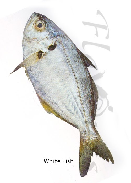 White fish, False trevally - Click for a bigger view