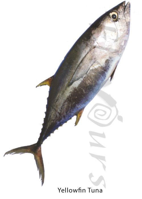 Yellow fin Tuna - Click for a bigger view