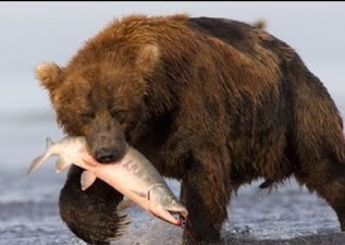 Feeding Habits - Brown Bear