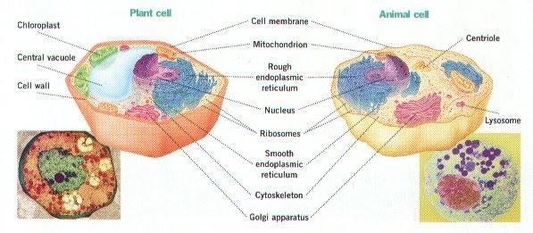 Plant cells vs animal cells