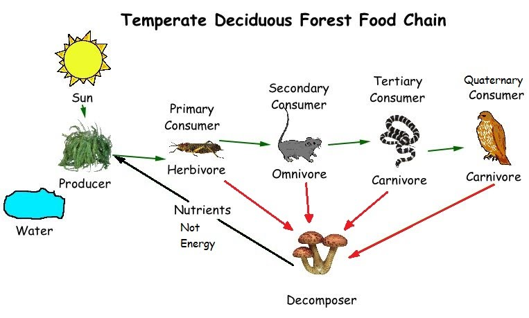Food Chains And Energy Flow In Ecosystems