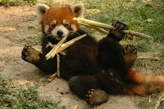 Feeding Habits - Red Pandas