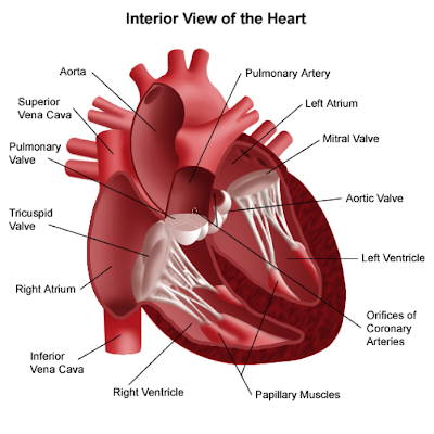 Week 5 - Cardiac Anatomy, Electrical-Mechanical Coupling and Cardiac ...