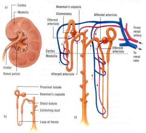 Week 9 - Renal Processes: Glomerular Filtration - Team 1 P451 Fall 2012