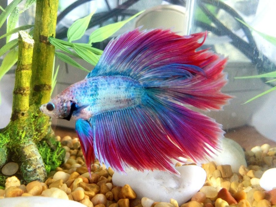 Types of betta fish the betta fish zone for Betta fish together