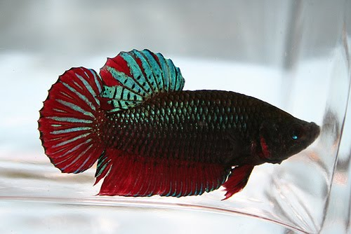 Types Of Betta Fish The Betta Fish Zone