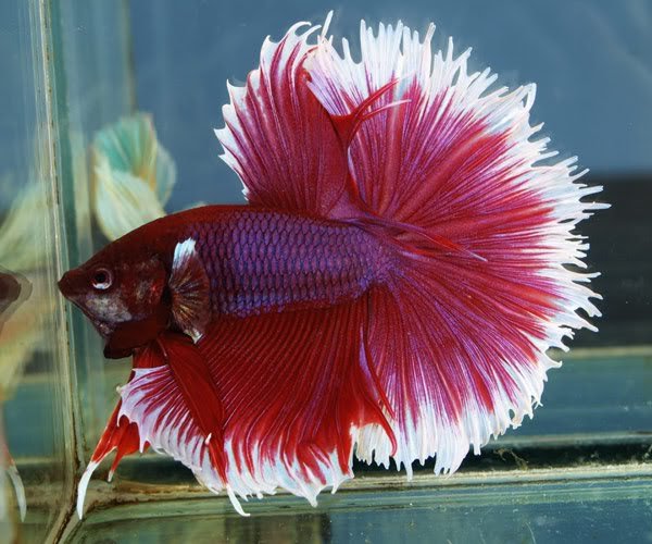 Types of betta fish the betta fish zone for Different types of betta fish