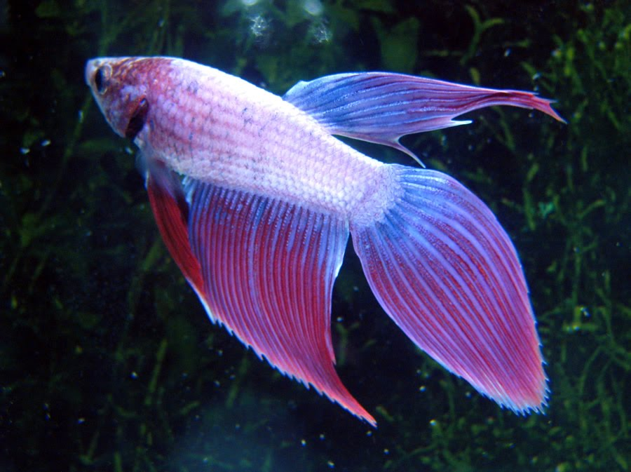 Types of betta fish the betta fish zone for Male veiltail betta fish
