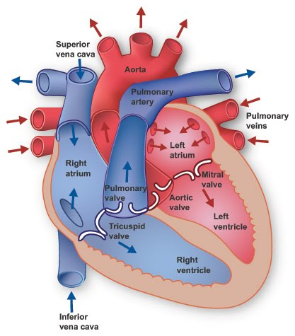 Heart Anatomy Physiology And Pathology Of The Body