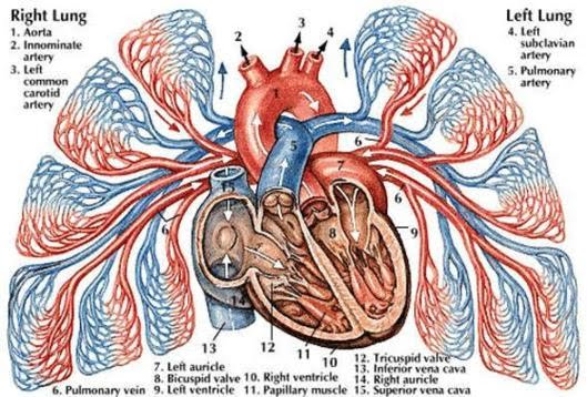 Blood Flow - The Cardiovascular System
