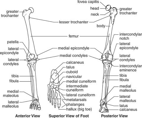 Lower Limb Bones - The Human Skeletal System