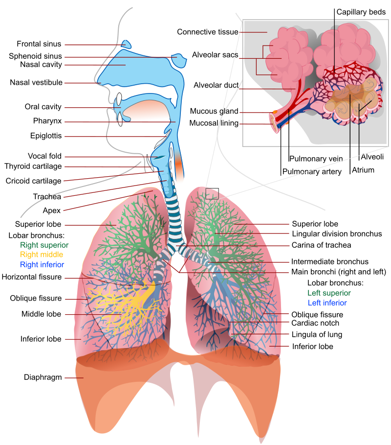 The Concept The Respiratory System
